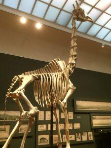 Het opgezette skelet van de camelopardalis van RJG
