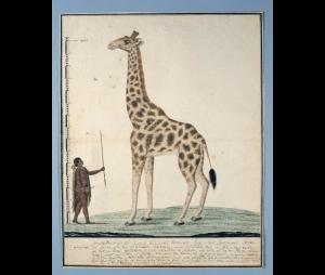 De camelopardalis, de giraffe