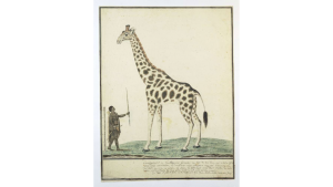 Giraffe van Robert Jacob Gordon